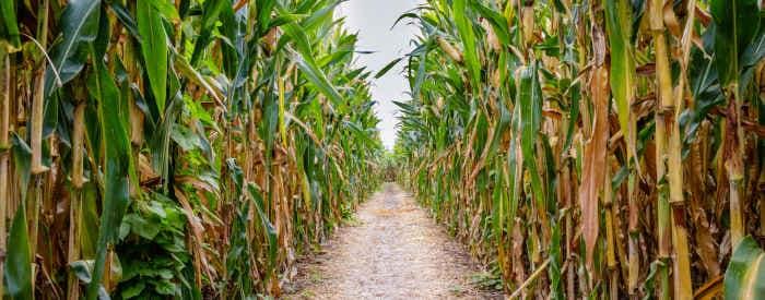 Corn Maze & Fall Festival