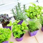 Herbs sitting in window sill ready to be planted.
